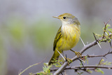 Ecuador, Galapagos Islands, Floreana, Punta Cormoran. Female Yellow Warbler on a Branch Photographic Print by Ellen Goff