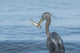 Morning Fish Catch by Great Blue Heron, with Water Splashes Photographic Print by Sheila Haddad
