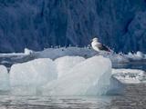 Arctic Ocean, Norway, Svalbard. Kittiwake Bird on Iceberg Photographic Print by Jaynes Gallery