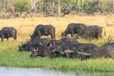 Botswana. Okavango Delta. Khwai Concession. Herd of Cape Buffalo Photographic Print by Inger Hogstrom