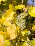 Vineyards Near Village Spitz in Wachau, Austria Stampa fotografica di Martin Zwick