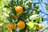 Florida, Detail of Orange Tree Stampa fotografica di Lisa S. Engelbrecht