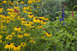 Flower Garden with Black-Eyed Susans and Black and Blue Salvias, Marion County, Il Photographic Print by Richard and Susan Day