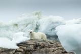 Canada, Nunavut Territory, Repulse Bay, Polar Bear Resting on Rocky Shoreline of Harbor Islands Photographic Print by Paul Souders