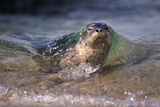 California, La Jolla. Baby Harbor Seal on Beach Photographic Print by Jaynes Gallery