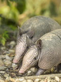Louisiana, Lake Martin. Two Nine-Banded Armadillo Young Photographic Print by Jaynes Gallery