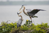 Great Blue Heron Photographic Print by Larry Ditto