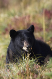 Black Bear, Early Autumn Photographic Print by Ken Archer
