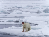 Arctic Ocean, Norway, Svalbard. Polar Bear after Eating Photographic Print by Jaynes Gallery