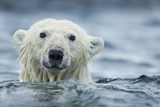 Canada, Nunavut Territory, Repulse Bay, Polar Bear Swimming Near Harbor Islands Photographic Print by Paul Souders