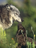 Gray Wolf with a Pup Licking its Muzzle, a Way to Ask for Food, Montana Photographic Print by Tim Fitzharris