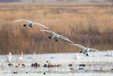 Trumpeter Swans Flying to Wetland, Riverlands Migratory Bird Sanctuary, West Alton, Montana Impressão fotográfica por Richard and Susan Day