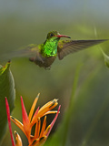 Rufous-Tailed Hummingbird, Costa Rica Photographic Print by Tim Fitzharris