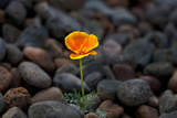 California. Poppy Wildflower and Rocks Photographic Print by Jaynes Gallery