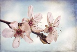 Washington State, Seabeck. Flowering Plum Blossoms Photographic Print by Jaynes Gallery