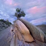 Juniper Tree in Split Rock, Dinosaur National Monument, Utah Photographic Print by Tim Fitzharris
