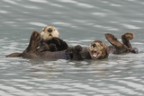 Sea Otters Photographic Print by Ken Archer