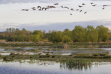 Lesser Canada Geese, Nisqually Nwr Photographic Print by Ken Archer