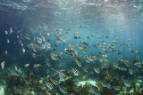 Sergeant Major Fish School Near Coral Reef with Sunrays in Background, Bahamas Photographic Print by James White