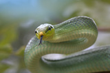 Red-Tailed Green Rat Snake, Costa Rica Photographic Print by Tim Fitzharris