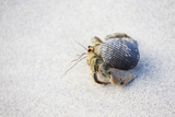 Ecuador, Galapagos Islands, Genovesa, Darwin Bay Beach. Hermit Crab on the Beach Photographic Print by Ellen Goff