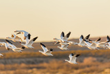 New Mexico, Bosque Del Apache Natural Wildlife Refuge. Mixed Geese Flying Photographic Print by Jaynes Gallery