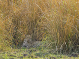 Africa, Zambia. Leopard Resting in Grass Photographic Print by Jaynes Gallery