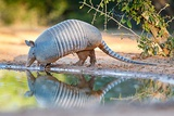 Nine-Banded Armadillo Drinking Photographic Print by Larry Ditto