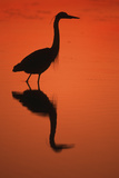 Great Blue Heron at Sunset, J.N. Ding Darling National Wildlife Reserve, Florida Photographic Print by Richard and Susan Day