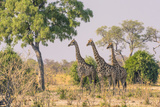 Botswana. Chobe National Park. Savuti. Giraffes Intently Watching a Hidden Lion in the Bush Photographic Print by Inger Hogstrom