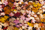 Maine, Acadia National Park, Fall Leaves with Water Drops in Acadia National Park Photographic Print by Joanne Wells