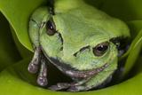 Andean Marsupial Tree Frog, Ecuador Photographic Print by Pete Oxford