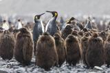 South Georgia Island, Salisbury Plains. Adult King Penguins Amid Juveniles During Rainstorm Photographic Print by Jaynes Gallery