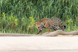 Brazil, Mato Grosso, the Pantanal, Rio Cuiaba, Jaguar Photographic Print by Ellen Goff