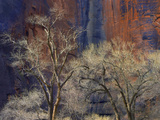 Cottonwood Trees Among the Stained Walls of Zion Canyon, Zion National Park, Utah Photographic Print by Tim Fitzharris