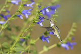 Ruby-Throated Hummingbird at Blue Ensign Salvia, Marion County, Il Reproduction photographique par Richard and Susan Day