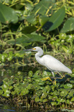 Florida, Orange City, St. John River, Egret Photographic Print by Jim Engelbrecht