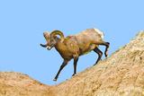 South Dakota, Badlands National Park, Full Curl Bighorn Sheep Climbing Down Roadside Hill Photographic Print by Bernard Friel