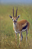 Thompson's Gazelle, Kenya, Africa Photographic Print by Tim Fitzharris