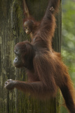 Mother Orangutan and Baby Hanging from a Tree, Sabah, Malaysia Photographic Print by Tim Fitzharris