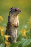 Columbian Ground Squirrel Among Glacier Lilies, Glacier National Park, Montana, Usa Photographic Print by John Barger