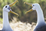 Ecuador, Galapagos Islands, Espanola, Punta Suarez,. Waved Albatrosses Interacting Reproduction photographique par Ellen Goff