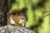 Red Tree Squirrel Posing on Branch in Flagg Ranch, Wyoming Photographic Print by Michael Qualls