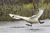 Tundra Swan Taking Flight Impressão fotográfica por Ken Archer