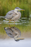 Wyoming, a Juvenile Great Blue Heron Forages for Food in a Calm Pond with Full Reflection Photographic Print by Elizabeth Boehm