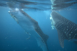 Whale Sharks Feeding at the Surface, Cebu, Philippines Photographic Print by Tim Fitzharris