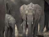 Africa, Zambia. Elephant Adults and Young Photographic Print by Jaynes Gallery