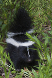 Striped Skunk Kit Photographic Print by Ken Archer