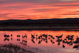 New Mexico, Bosque Del Apache National Wildlife Refuge. Sandhill Cranes at Sunset Photographic Print by Jaynes Gallery