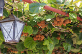 Macedonia, Ohrid and Lake Ohrid, Kiwi Fruits Growing. Lantern Photographic Print by Emily Wilson